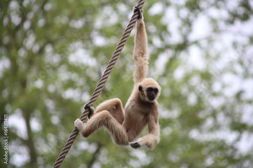 Carta da parati gibbon