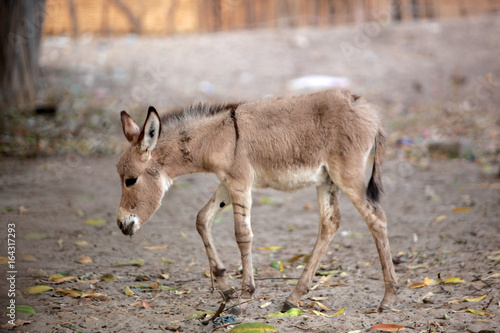 baby donkey in Africa