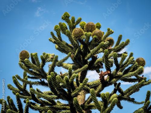 Chilean Araucaria Trees in a blue summer sky Wallpaper Mural