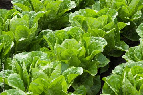 uprawa-salaty-w-rzedach-w-ogrodzie-war