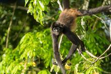 Spider Monkey Of Guatemala