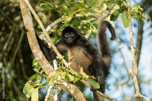 Cadres-photo bureau Singe Spider Monkey of Guatemala