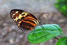 Butterfly Tiger Mimic Lycorea ...