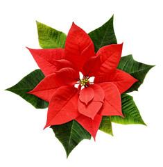 Naklejka Egzotyczne Red Christmas poinsettia flower