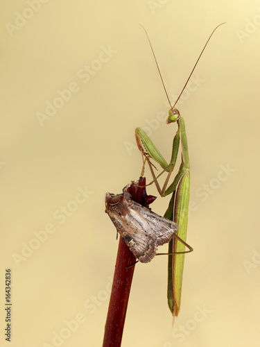 Photo MANTIS ATACANDO AMARIPOSA