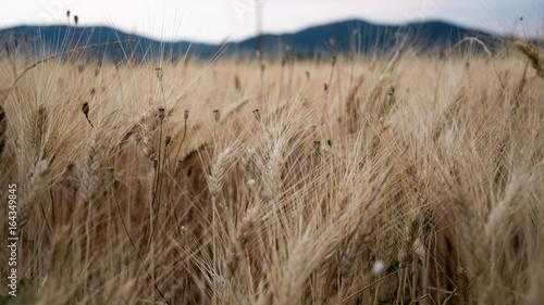 Fototapeta Spighe di grano in un campo in Provenza