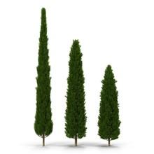 Three Cypress Trees On White. ...