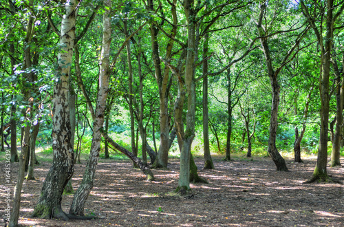 Fotografie, Obraz A wide sunlit footpath passes between oak and silver birch trees in Sherwood Forest