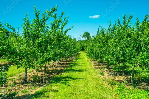 Recess Fitting Green Rows of fruit trees in an orchard
