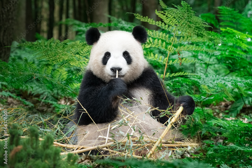 Nice Panda sitting at the rainforest