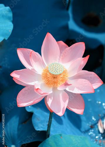 Photo Stands Lotus flower Lotus flower in pond