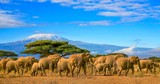 Fototapeta Sawanna - Herd of african elephants taken on a safari trip to Kenya with a snow capped Kilimanjaro mountain in Tanzania in the background, under a cloudy blue skies.