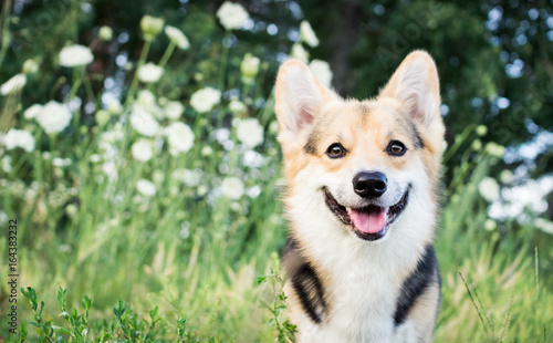 Poster Chien Happy and active purebred Welsh Corgi dog outdoors in the flowers on a sunny summer day.