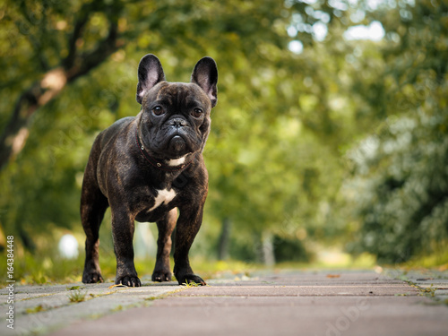 Beautiful French bulldog. Portrait of a black dog. Nature, summer, Park