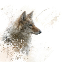 Close Up Image Of Coyote  Watercolor