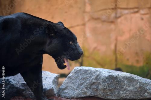 Photo Stands Panther black jaguar