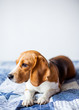 Beagle dog on white background at home sits on bed.