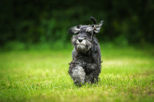 Funny Miniature Schnauzer Pupp...