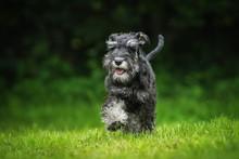 Happy Miniature Schnauzer Pupp...