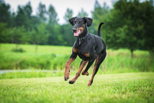 Doberman Pinscher Dog Running