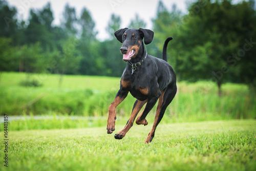Papel de parede Doberman pinscher dog running