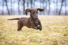 Dachshund Dog Playing With A B...