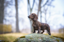 Dachshund Dog Standing On The Big Stone