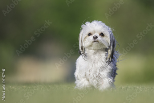 Photo  Small white and grey dog portrait