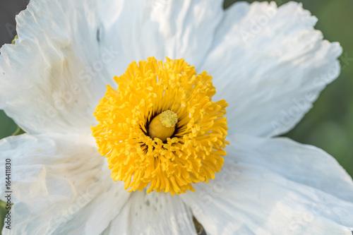 Fotografie, Obraz  Closeup of a daisy flower