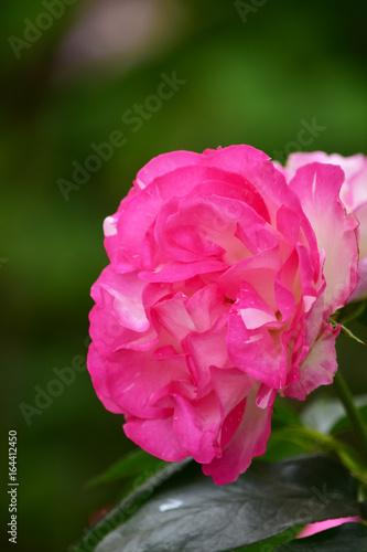 Deurstickers Roze 魅惑的なバラ ストロベリーアイス