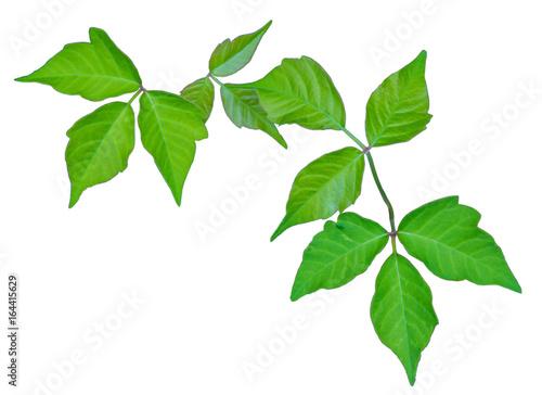 Fotografie, Obraz  Poison Ivy Isolated for Identification