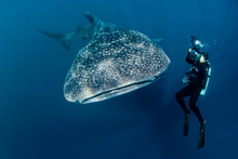 Whale Sharks Of Indoneisa