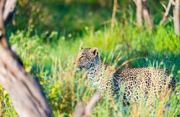 Fototapeta na wymiar Leopard in tall grass