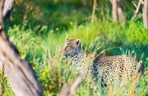 Obrazy na płótnie Canvas Leopard in tall grass
