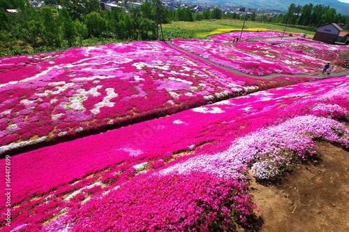 Staande foto Roze ニセコの絶景は芝桜