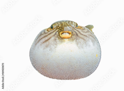 Photo inflated puffer fish on white background
