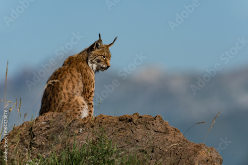Foto auf Leinwand Luchs Lynx in profile on rock looking down