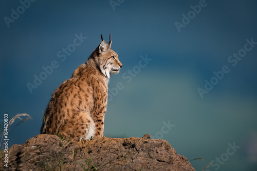 Spoed Foto op Canvas Lynx Lynx in profile on rock looking up