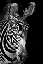Mono Close-up Of Grevy Zebra F...