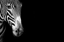 Close-up Of Grevy Zebra Head  ...