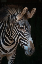 Close-up Of Grevy Zebra Head I...