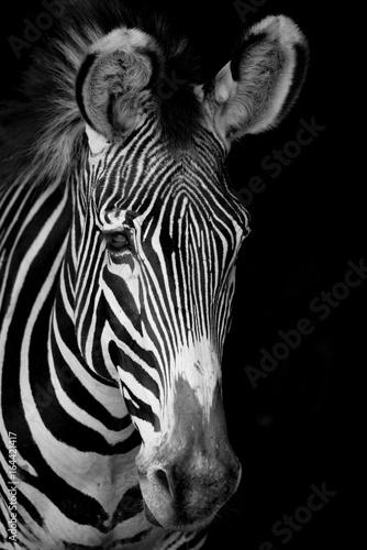 Canvas Prints Zebra Mono close-up of Grevy zebra facing forward