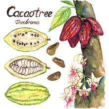 Cacao Tree (theobroma) With Flowers And Ripe Beans, Sliced Bean, Isolated Hand Painted Watercolor Illustration And Inscription