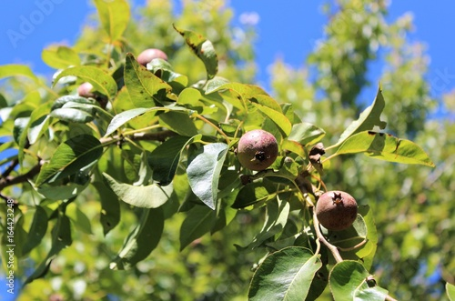 Pear fruit grows on branches in early summer