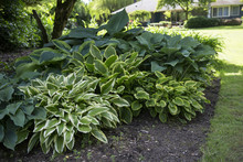 Featured View, Hosta Plant Mix...