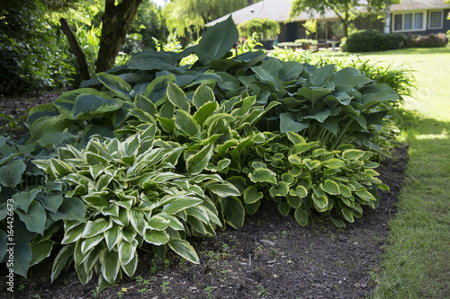 Featured View Hosta Plant Mix Green White Blue And Yellow