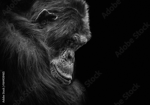 Fotografie, Obraz Black and white animal portrait of a sad and depressed chimp in captivity
