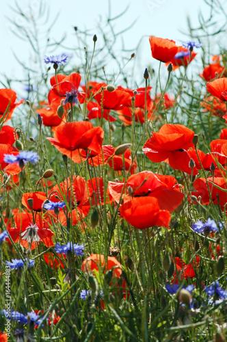 poppy field blooming in summer