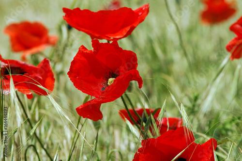 Keuken foto achterwand Rood traf. poppy field blooming in summer