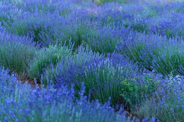 Obraz na Szkle Lawenda Lavendel Felder bei Entrevennes, Provence Frankreich